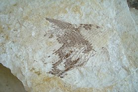 """Fossil Fish Tail"" - Click for a bigger picture!"